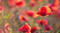 Poppy flowers at sunset, blurred background Stock Footage