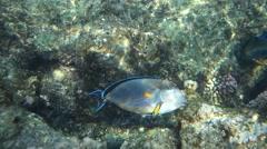 Sea fish - Sohal surgeonfish (Acanthurus sohal) with coral - stock footage