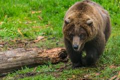 Female Grizzly Bear Near Chewed Up Log Kuvituskuvat