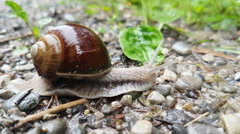 Vineyard snail crawling over soil Stock Footage
