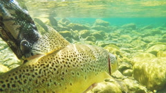 underwater shot brown trout being released in 60p - stock footage