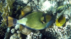 Movie clip of Titan triggerfish - Balistoides viridescens and coral reef Stock Footage