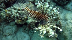 Movie clip of Red lionfish - Pterois volitans and coral reef Stock Footage