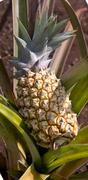 Young fresh pineapple plant in Oahu, Hawaii. - stock photo