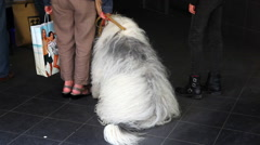 Big dog french shepherd briard near the shopping mall Stock Footage