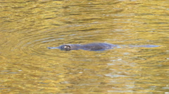 Platypus swimming on river surface close up Arkistovideo