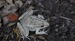 This is a video of a Leopard Frog. - stock footage
