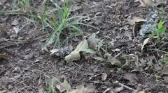 Texas Striped Bark Scorpion Stock Footage