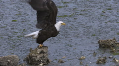 A Bald Eagle Hops From a Rock to a Log on a Beach Stock Footage