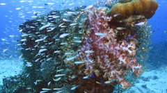 Baitfish and Soft Coral - stock footage