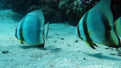 Movie Clip of sea fish - Circular batfish (Platax orbicularis) - Red sea Stock Footage