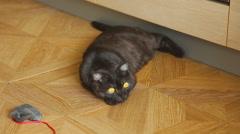 Gray scottish fold cat Stock Footage