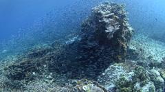 Baitfish Swarming Over Reef Stock Footage