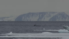 Slow motion - right whale diving on snowy day Stock Footage