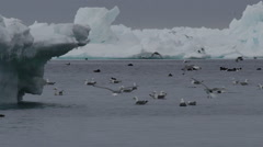 Slow motion - gulls landing near guillemots near ice berg Stock Footage
