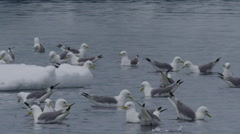 Close on frenzied kittiwakes feeding in sea next to ice Stock Footage