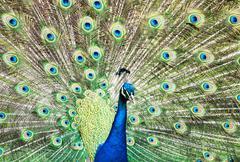 Beautiful Indian peafowl - Pavo cristatus - male (peacock) displaying - stock photo