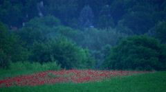 Beautifull poppy meadow after sunset Stock Footage