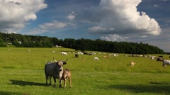 The herd cows on a summer pasture Stock Footage