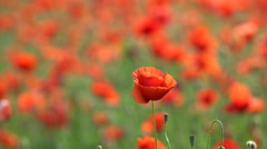 Beautifull poppy meadow, close-up Stock Footage
