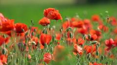 Beautifull poppy, close-up Stock Footage
