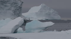 Slow motion kittiwakes and guillemots swimming behind sea ice Stock Footage