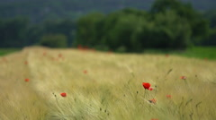 Cornfield with common poppy Stock Footage