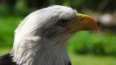 Portrait of Bald Eagle Stock Footage
