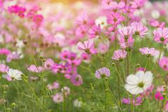 Cosmos colorful flower in the beautiful garden Stock Photos