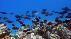 Quantities of marine and coral fish - Red sea - stock footage