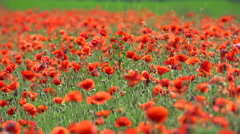 A lot of beautifull poppy Stock Footage