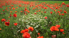 Beautifull poppy with flowers Stock Footage