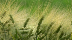 Beautiful ears of wheat Stock Footage
