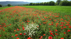 Beautifull poppy meadow Stock Footage