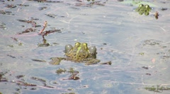 Two toads croak back in the water Stock Footage