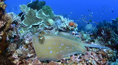 Blue Spotted Stingray Being Cleaned Stock Footage