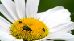 Flies bees and ticks on the daisy Stock Footage