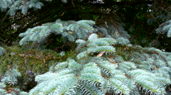 A silver fir tree in the forest Stock Footage