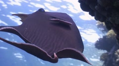 Triggerfish in red sea Stock Footage