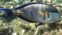 Sea fish - Sohal surgeonfish (Acanthurus sohal) with coral Stock Footage