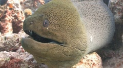 An angry giant Moray. Diving in the Red sea near Egypt. - stock footage