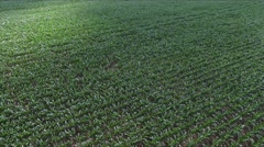 flight over green field with young corn plants - drone aerial view - stock footage