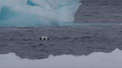 Common eider swims towards blue iceberg Stock Footage