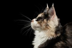 Closeup Maine Coon Cat, Profile view, Looking up, Isolated Black - stock photo