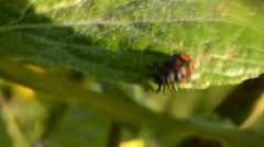 Glischrochilus quadripunctata beetle wandering on a green plant leaf in summer Stock Footage