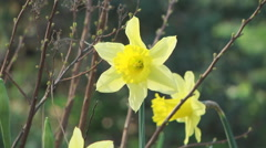 Yellow Narcissus Flower Stock Footage
