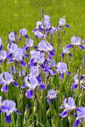 Blooming iris spring Stock Photos
