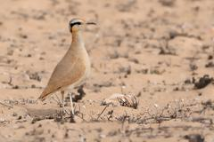 Cursorius cursor - Cream-colored Courser in the desert (semi-desert) of Fuert - stock photo