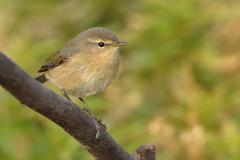 Canary Islands Chiffchaff - Phylloscopus canariensis sitting on the branch on - stock photo