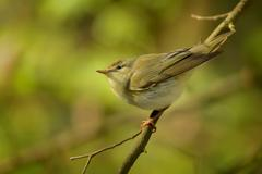Wood Warbler - Phylloscopus sibilatrix is perching on the branch. Small fores - stock photo